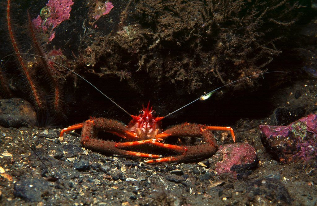 05 Long Clawed Squat Lobster